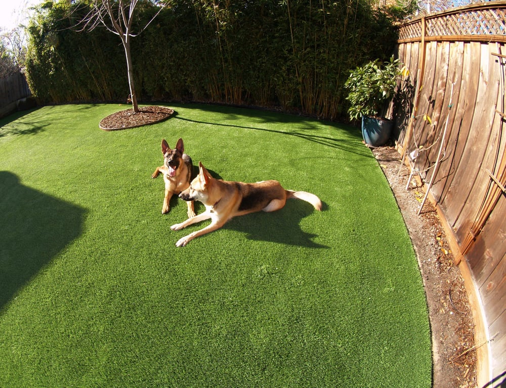 Turf Backyard Dogs : grass installed for a dog run area in a backyard with two active dogs