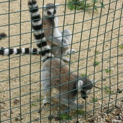 Lemurs stuffing their faces