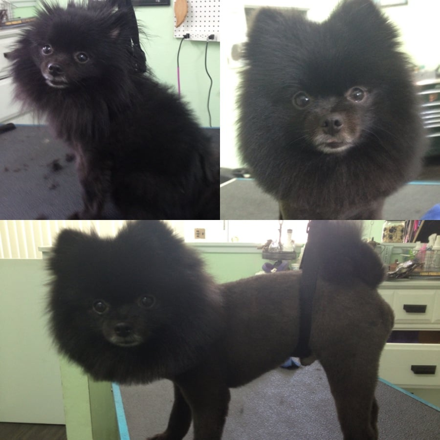 Black Pomeranian Haircut