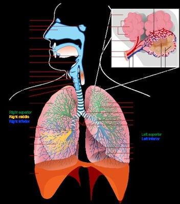 Схема дыхательной системы человека.