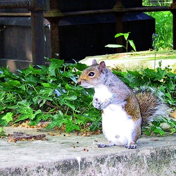 Squirrel Nutkin in Brompton Cemetary?