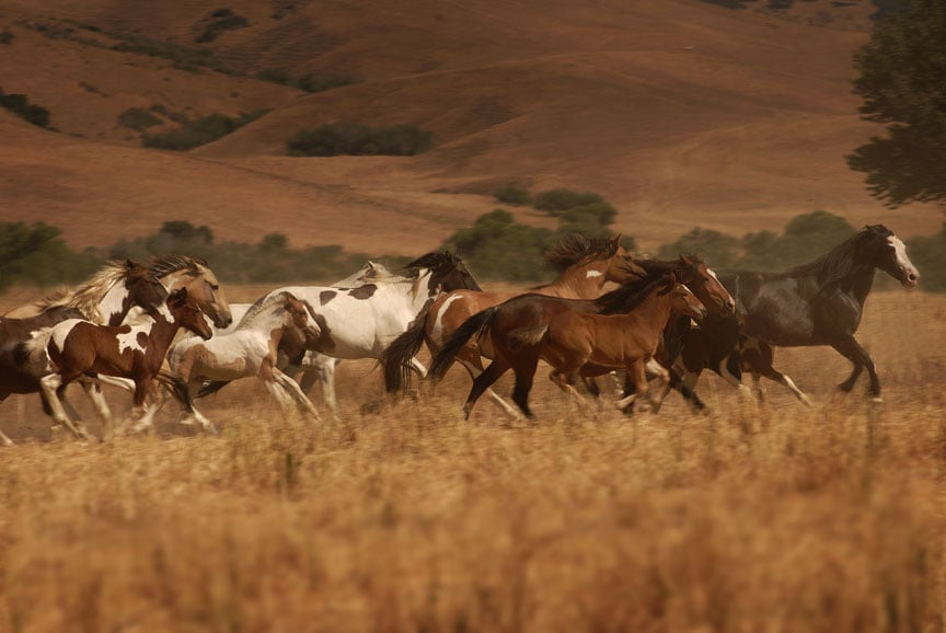A Herd Of Choctaw Ponies At The Sanctuary  Descended From The Horses Who Carried Native
