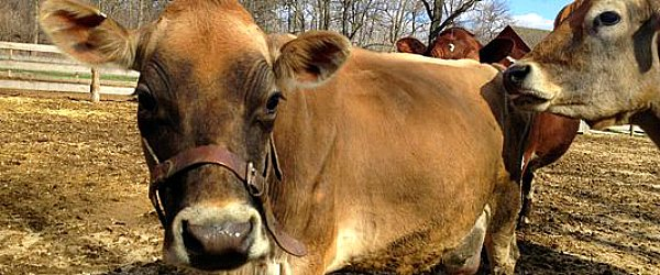 Cow party at Spring Valley Nature Sanctuary